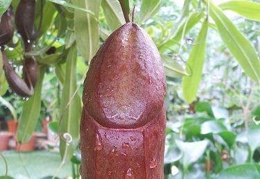 membru în timpul erecției nu se deschide penisul în repaus și erecție