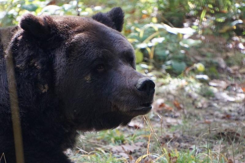 A murit Max, ursul de la Peleș. I-au scos ochii cu un bold, i-au dat cu spray, l-au drogat cu bere. Acum nu-l mai doare nimic...