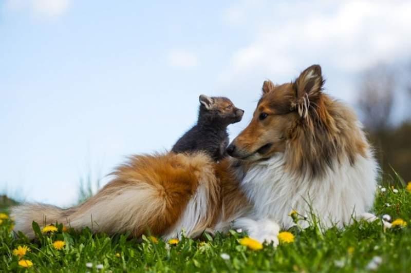 un caine a devenit prieten cu un pui de vulpe