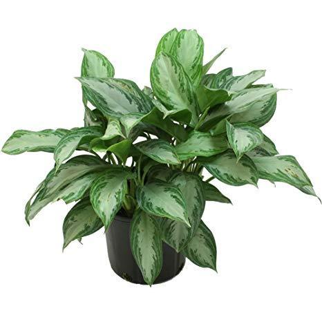 Plante de apartament rezistente la umbră. 8 flori ușor de întreținut