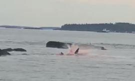 Scene terifiante cu rechinul Marele Alb care își devorează prada într-o baltă de sânge, capturate de turiști - VIDEO