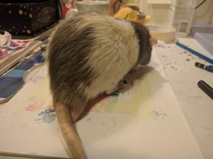 O studentă la Arte a antrenat un șobolan să picteze cu propriile picioare! Fotografiile cu micul artist au devenit virale - FOTO