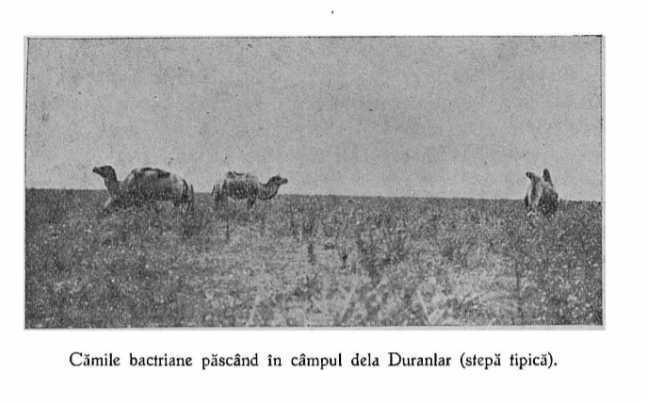 """Dobrogea era plină de cămile! """"Dau 20 kg de lână! Se ascund în zăpadă""""! Antonescu le-a vrut pe front!"""