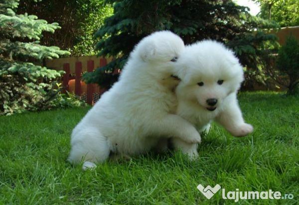 Cele mai scumpe rase de câini din lume sunt acestea