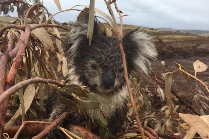 """Sute de urși koala, găsiți morți în Australia: """"Au trecut cu buldozerul peste ei. Simţi mirosul aflat în putrefacţie!"""" Imaginile fac înconjurul Planetei"""