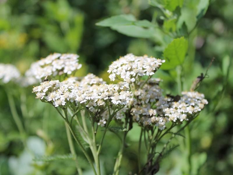 Top 10 plante de primăvară cu multiple beneficii asupra organismului