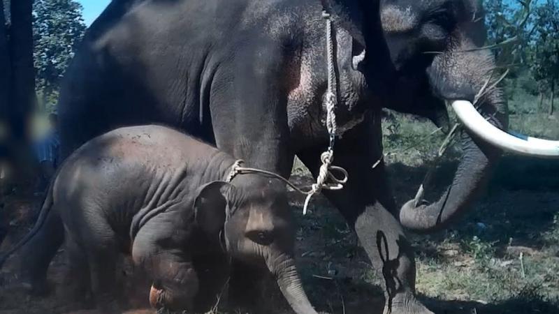 VIDEO | Așa arată chinul! Momentul în care un pui de elefant este zdrobit cu o tijă de fier în scopul de a fi dresat