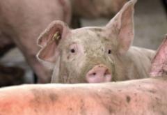 Ajutor pentru cei concediați de la fermele inchise de pesta porcină