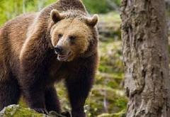 Românii care hrănesc urşii ar putea fi amendați, anunță ministrul Mediului