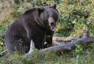 Atenție la urși pe traseele turistice din Bucegi