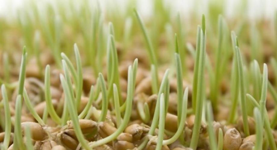 Tradiţia grâului pus la încolţit de Ziua Sfântului Andrei (video)