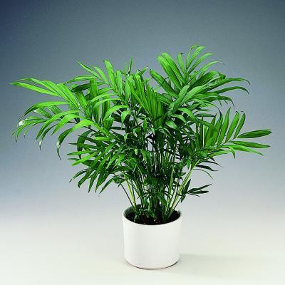 palmier ingrijire