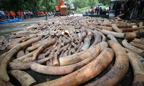 Operațiune record, Singapore a capturat 8,8 tone de fildeș de elefant